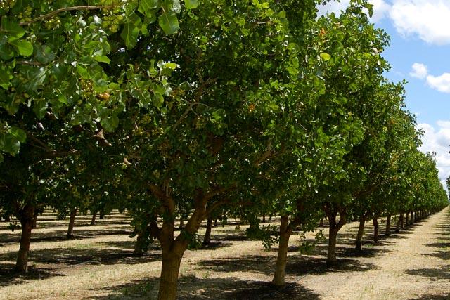 Pistachio Orchard
