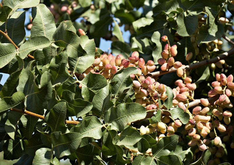 California grown pistachios