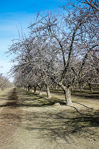 Schultz Pistachio Orchard In Winter